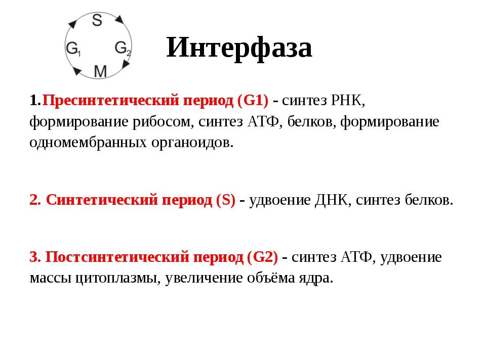 Интерфаза Пресинтетический период (G1) - синтез РНК, формирование рибосом, си...
