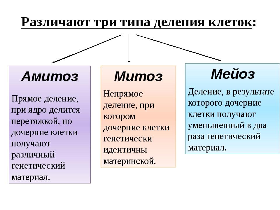 Различают три типа деления клеток: Амитоз Прямое деление, при ядро делится пе...