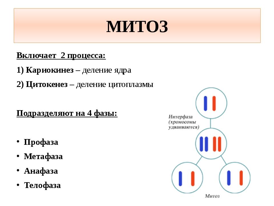 МИТОЗ Включает 2 процесса: 1) Кариокинез – деление ядра 2) Цитокенез – делени...