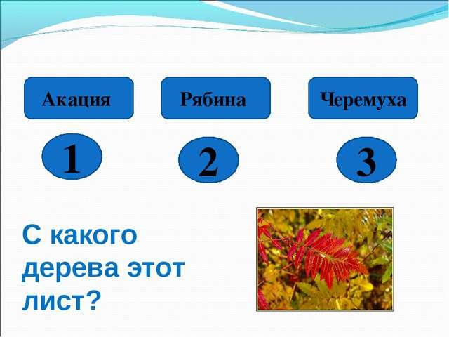 1 2 3 Акация Рябина Черемуха С какого дерева этот лист?
