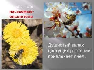 Душистый запах цветущих растений привлекает пчёл. Пчёлы – это насекомые-опыли