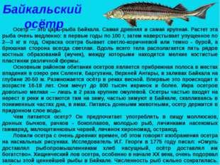 Осетр — это царь-рыба Байкала. Самая древняя и самая крупная. Растет эта рыба