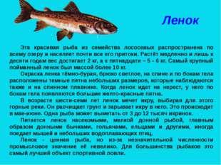 Ленок Эта красивая рыба из семейства лососевых распространена по всему озеру