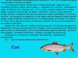 Сиг Распространенной на Байкале рыбой являются и сиги. Но их запасы большого
