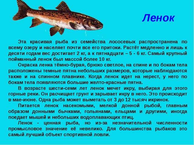 Ленок Эта красивая рыба из семейства лососевых распространена по всему озеру...