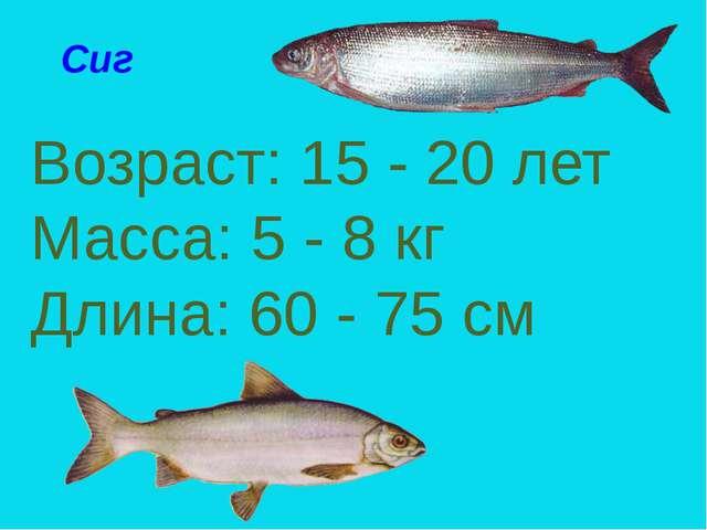 Сиг Возраст: 15 - 20 лет Масса: 5 - 8 кг Длина: 60 - 75 см Сиг