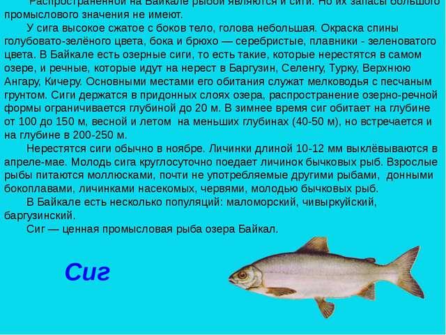 Сиг Распространенной на Байкале рыбой являются и сиги. Но их запасы большого...