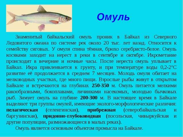 Омуль Знаменитый байкальский омуль проник в Байкал из Северного Ледовитого ок...