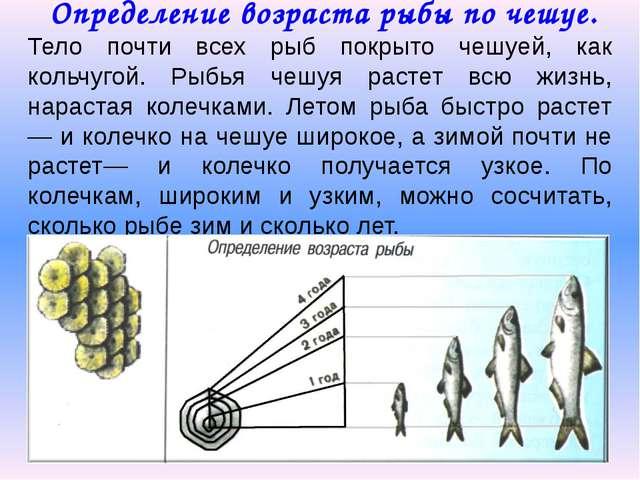 Определение возраста рыбы по чешуе. Тело почти всех рыб покрыто чешуей, как...