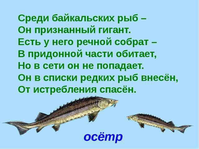 осётр Среди байкальских рыб – Он признанный гигант. Есть у него речной собрат...