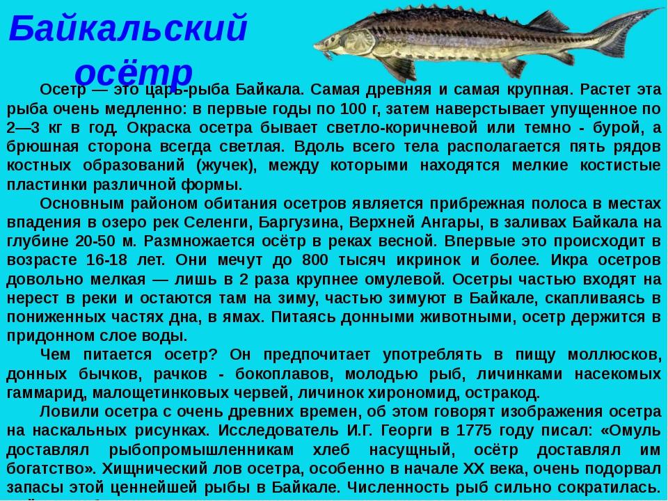 Осетр — это царь-рыба Байкала. Самая древняя и самая крупная. Растет эта рыба...
