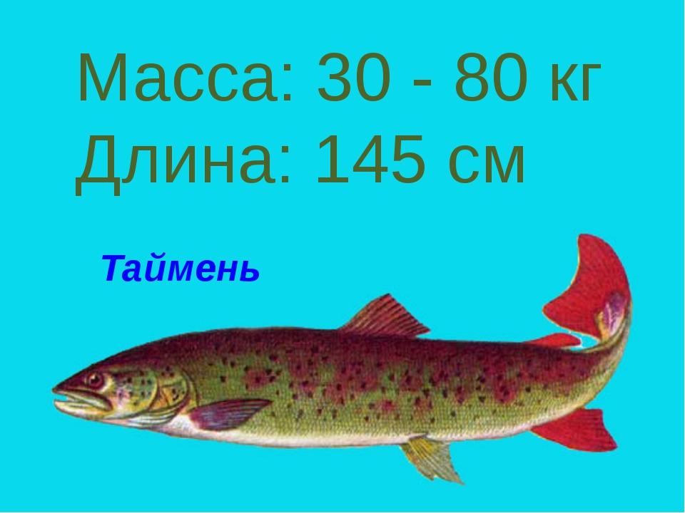 Таймень Масса: 30 - 80 кг Длина: 145 см Таймень