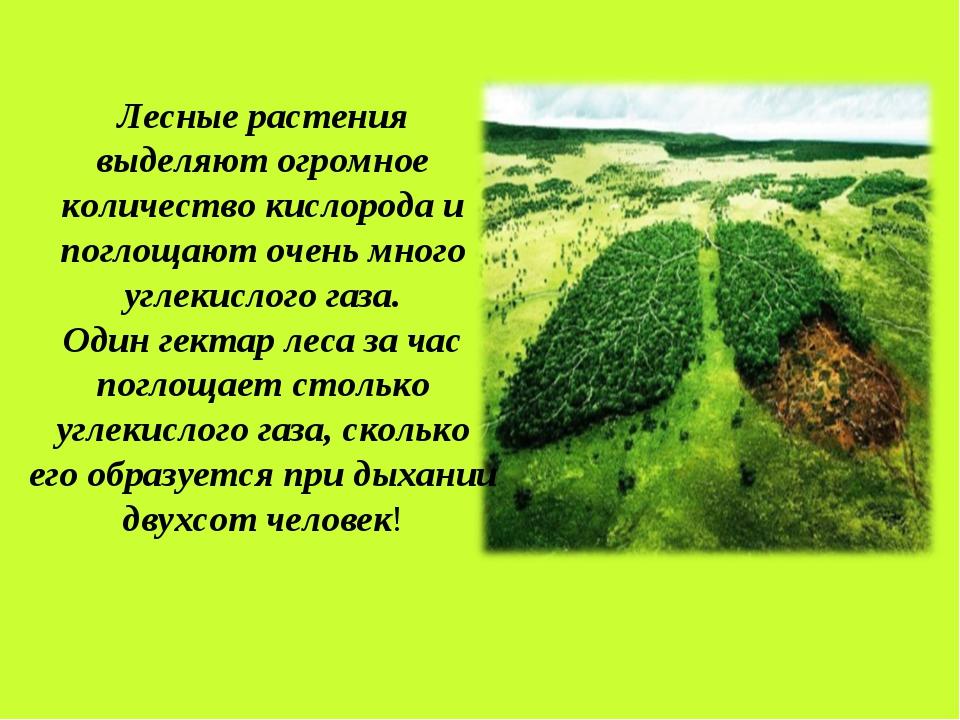 Лесные растения выделяют огромное количество кислорода и поглощают очень мног...