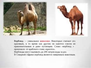 Верблюд — уникальное животное. Некоторые считают его красивым, в то время как