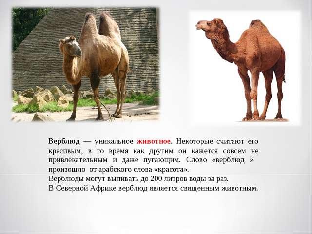Верблюд — уникальное животное. Некоторые считают его красивым, в то время как...
