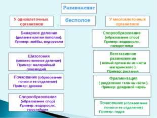 Размножение У одноклеточных организмов У многоклеточных организмов Бинарное д