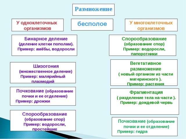 Размножение У одноклеточных организмов У многоклеточных организмов Бинарное д...