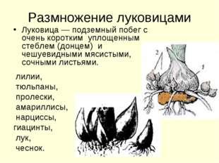 Размножение луковицами Луковица — подземный побег с очень коротким уплощенным