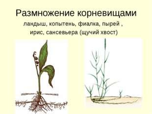 Размножение корневищами ландыш, копытень, фиалка, пырей , ирис, сансевьера (щ