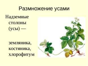 Размножение усами Надземные столоны (усы) — земляника, костяника, хлорофитум