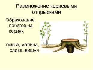 Размножение корневыми отпрысками Образование побегов на корнях осина, малина,