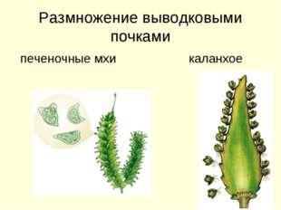 Размножение выводковыми почками печеночные мхи каланхое