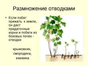 Размножение отводками Если побег прижать к земле, он даст придаточные корни и