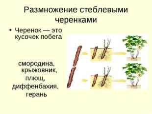 Размножение стеблевыми черенками Черенок — это кусочек побега смородина, крыж