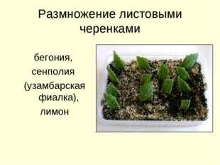 Размножение листовыми черенками бегония, сенполия (узамбарская фиалка), лимон