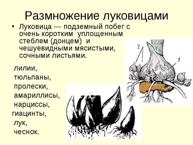 Размножение луковицами Луковица — подземный побег с очень коротким уплощенным...