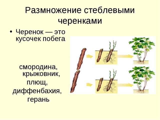 Размножение стеблевыми черенками Черенок — это кусочек побега смородина, крыж...