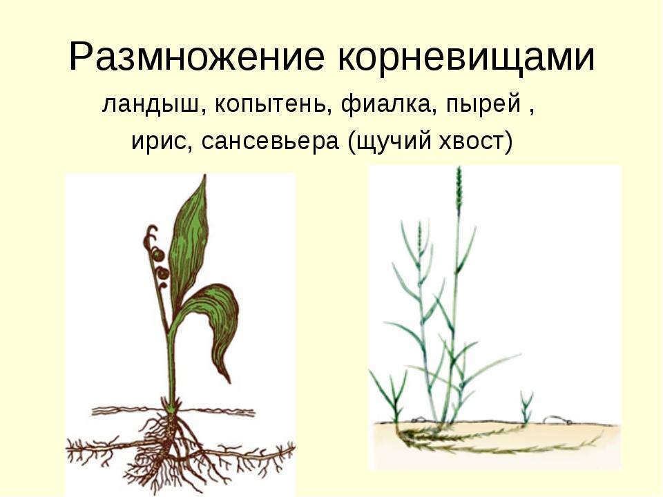 Размножение корневищами ландыш, копытень, фиалка, пырей , ирис, сансевьера (щ...