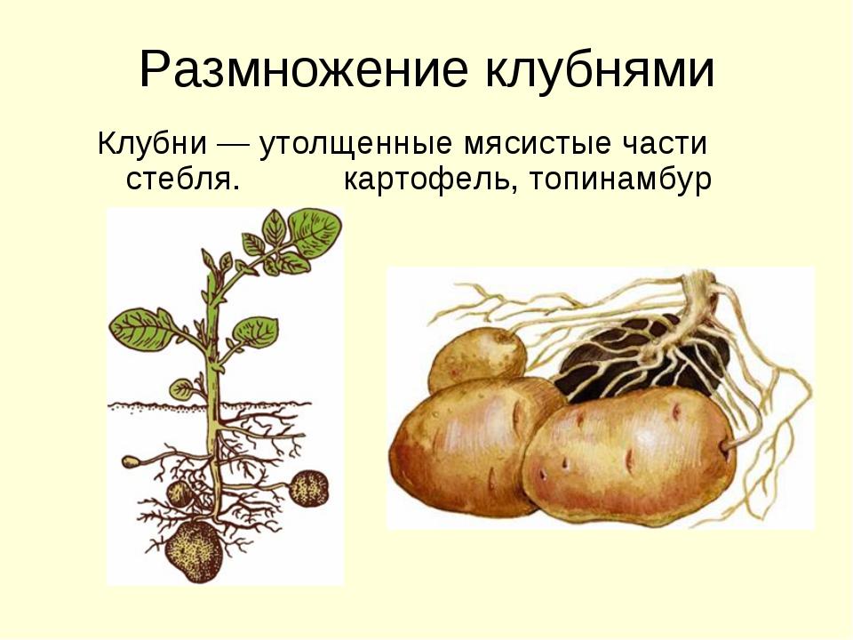 Размножение клубнями Клубни — утолщенные мясистые части стебля. картофель, то...