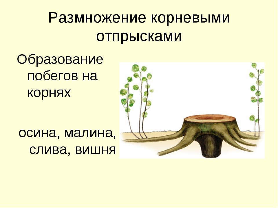 Размножение корневыми отпрысками Образование побегов на корнях осина, малина,...