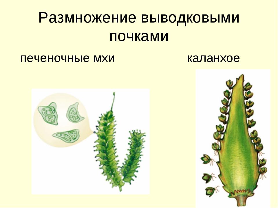 Размножение мха в домашних условиях