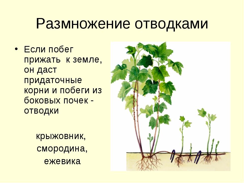 Размножение отводками Если побег прижать к земле, он даст придаточные корни и...