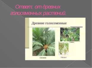 Ответ: от древних голосеменных растений.