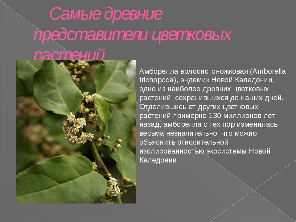 Самые древние представители цветковых растений Амборелла волосистоножковая (A...
