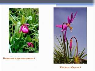 Башмачок крупноцветковый Кандык сибирский