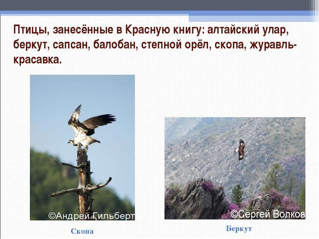 Птицы, занесённые в Красную книгу: алтайский улар, беркут, сапсан, балобан, с...