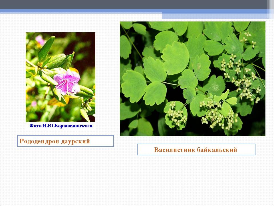 Рододендрон даурский Василистник байкальский