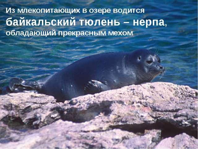 Из млекопитающих в озере водится байкальский тюлень – нерпа, обладающий прекр...