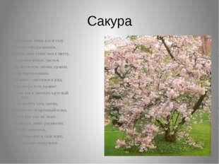 Сакура В Японии лишь раз в году Цветёт сакура-вишня, Лишь день стоит она в цв