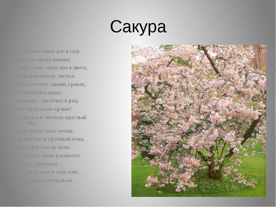 Сакура В Японии лишь раз в году Цветёт сакура-вишня, Лишь день стоит она в цв...