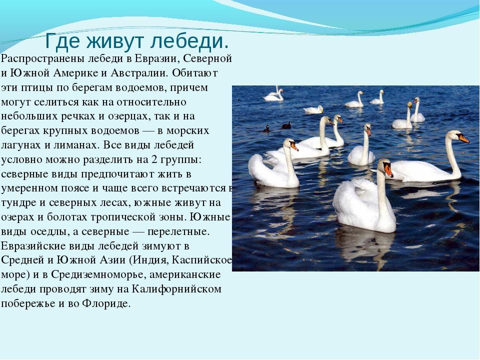 Где живут лебеди. Распространены лебеди в Евразии, Северной и Южной Америке и...