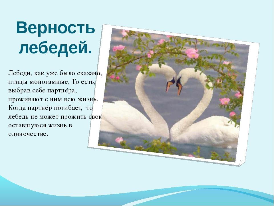 Верность лебедей. Лебеди, как уже было сказано, птицы моногамные. То есть, вы...