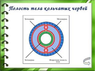 Полость тела кольчатых червей *
