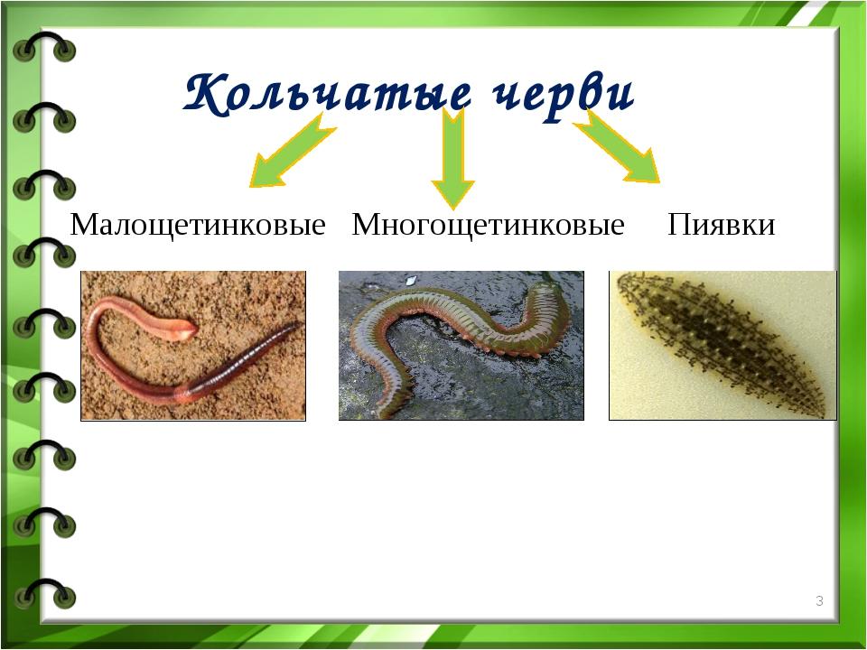 Кольчатые черви Малощетинковые Многощетинковые Пиявки *