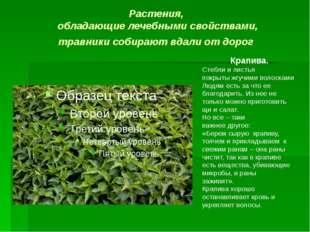 Растения, обладающие лечебными свойствами, травники собирают вдали от дорог К
