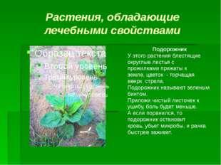 Растения, обладающие лечебными свойствами Подорожник У этого растения блестящ